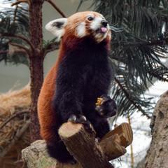 餌を持つレッサーパンダ
