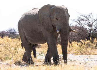 Elefant Lebensgröße