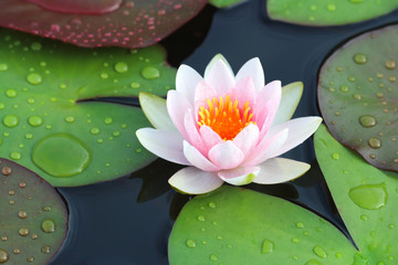 Wall Murals Lotus flower beautiful lotus flowers or waterlily in pond.