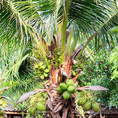 Green coconut at coconut tree in the garden.