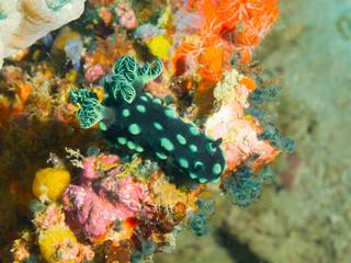 Philippines. Nembrotha cristata (Crested nembrotha) on bright coral, underwater macro