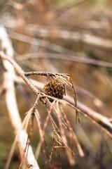 Autumn pinecones