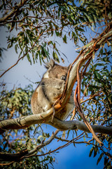 Wild Koala with Open Eyes in Eucalyptus Tree As Seen From Great Ocean Road in Melbourne, Australia