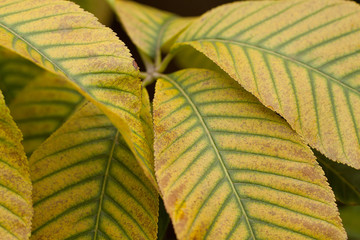beautiful yellow and green leaves of autumn chestnut with a graphic striped pattern