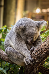 Sleeping Domestic Koala at Wildlife Sanctuary in Cairnes, Australia