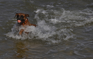 A dog enjoys the beach on a warm autumn day during a long weekend at the San Lorenzo beach in Gijon