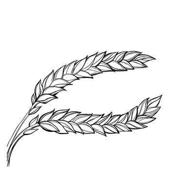 Hand-drawn vector set of ripe and green wheat ears. Elegant and concise clipart on cereals Agriculture, organic food, farming, field, stalk, ear, harvest.