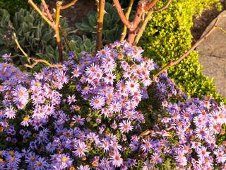 beautiful sun light small pink garden flowers plenty ground