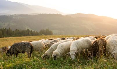 Sheep graze on the mountain pasture. Sunset.