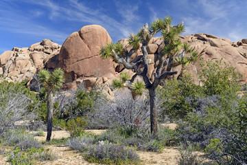 Joshua Trees among the Desert Rocks