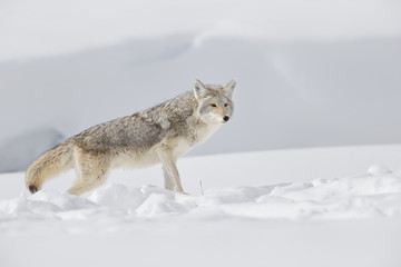 Coyote standing in the white snow at Yellowstone National Park