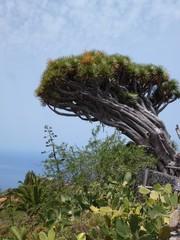Dragon tree on the island of La Palma, one of the Canary Islands