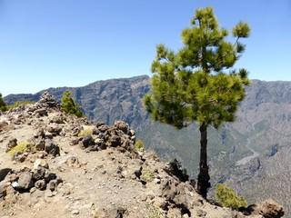 Tree on a peak on the island of La Palma, one of the Canary Islands 1