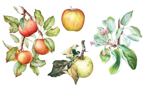 Colorful watercolor set of the apple tree branches with fruits, flowers and leaves. Apple plant elements