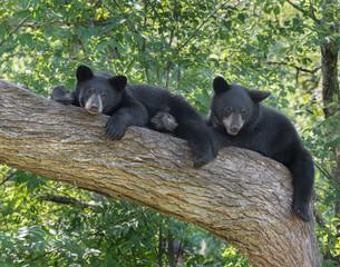 Black Bear cubs in tree
