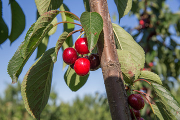 Cherry Tree cherry background cherry with leaf