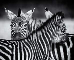 Obraz Pair of Zebra grooming each other in monochrome. Swaziland - fototapety do salonu