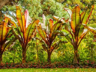 Canna lilies (Cannaceae)