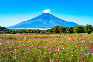 コスモス畑と富士山