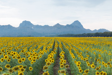 Sunflower blossom field with mountain background, natural landscape background