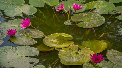 Search photos rain sunlight footage blooming natural park lily pond sunrise time 4k time lapse footage mightylinksfo