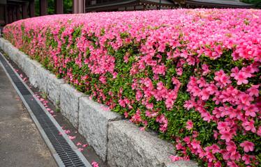 Photo sur Plexiglas Rose banbon The beautiful pink Shibazakura in the garden at Tokyo, Japan