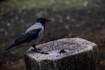Crow, perched on an old fountain