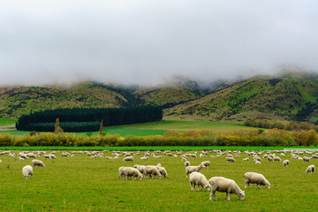 Flock of sheep grazing in the field with scenery of misty mountain , South Island of New Zealand