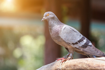 Rock pigeon, Rock dove on a tree branch with sunlight. Portrait of Rock Pigeon. Bird on a tree branch.