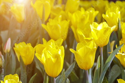 Beautiful Tulip Flower And Green Leaf Background In The Garden At