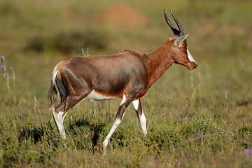 A blesbok antelope (Damaliscus pygargus) in natural habitat, South Africa.