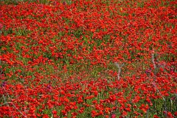 Poppy field in Malta.