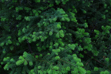 Blue spruce fir greenery forming a background.