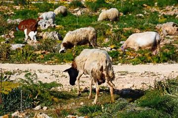 Sheep and goats grazing on scrubland, Dingli, Malta.