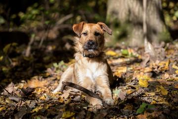 autumn dog portrait, terrier dog