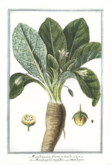Old botanical illustration of Mandragora fructu rotundo. By G. Bonelli on Hortus Romanus, publ. N. Martelli, Rome, 1772 – 93