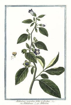 Old botanical illustration of Belladona majoribus foliis. By G. Bonelli on Hortus Romanus, publ. N. Martelli, Rome, 1772 – 93
