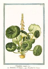 Old  botanical illustration of  Cotyledon major, (Umbilicus rupestris). By G. Bonelli on Hortus Romanus, publ. N. Martelli, Rome, 1772 – 93