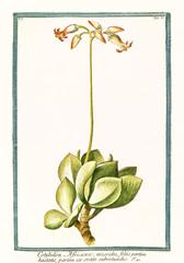 Old botanical illustration of  Cotyledon africana, (Cotyledon barbeyi). By G. Bonelli on Hortus Romanus, publ. N. Martelli, Rome, 1772 – 93