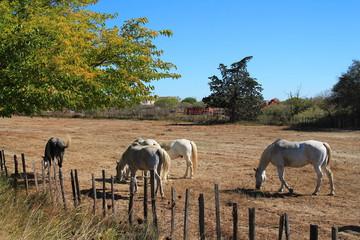 Chevaux blanc de Camargue, France