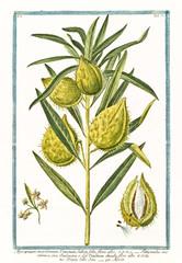 Old botanical illustration of  Apocynum maritimum, flore albo, (Araujia sericofera). By G. Bonelli on Hortus Romanus, publ. N. Martelli, Rome, 1772 – 93
