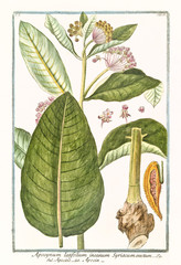 Old botanical illustration of  Apocynum latifolium, (Apocynum androsaemifolium). By G. Bonelli on Hortus Romanus, publ. N. Martelli, Rome, 1772 – 93