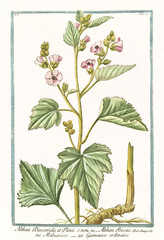 Old botanical illustration of  Althaea Dioscoridis et Plinii, (Althaea officinalis). By G. Bonelli on Hortus Romanus, publ. N. Martelli, Rome, 1772 – 93
