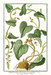 Old botanical illustration of Tamnus racemosa (Dioscorea communis). By G. Bonelli on Hortus Romanus, publ. N. Martelli, Rome, 1772 – 93