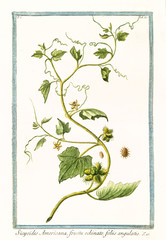 Old botanical illustration of Sicyoides americana (Cissus sicyoides). By G. Bonelli on Hortus Romanus, publ. N. Martelli, Rome, 1772 – 93