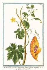 Old botanical illustration of Mormodica Zeylanica (Momordica charantia). By G. Bonelli on Hortus Romanus, publ. N. Martelli, Rome, 1772 – 93