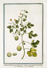 Old botanical illustration of Colocyntis fructu parvo (Citrullus colocynthis). By G. Bonelli on Hortus Romanus, publ. N. Martelli, Rome, 1772 – 93