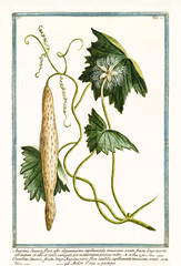 Old botanical illustration of Angvina sinensis (Trichosanthes cucumerina). By G. Bonelli on Hortus Romanus, publ. N. Martelli, Rome, 1772 – 93
