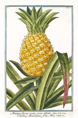 Old botanical illustration of Ananas fructu ovato (Ananas vomosus). By G. Bonelli on Hortus Romanus, publ. N. Martelli, Rome, 1772 – 93