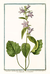 Old botanical illustration of Campanula vulgatior (Campanula latifolia). By G. Bonelli on Hortus Romanus, publ. N. Martelli, Rome, 1772 – 93